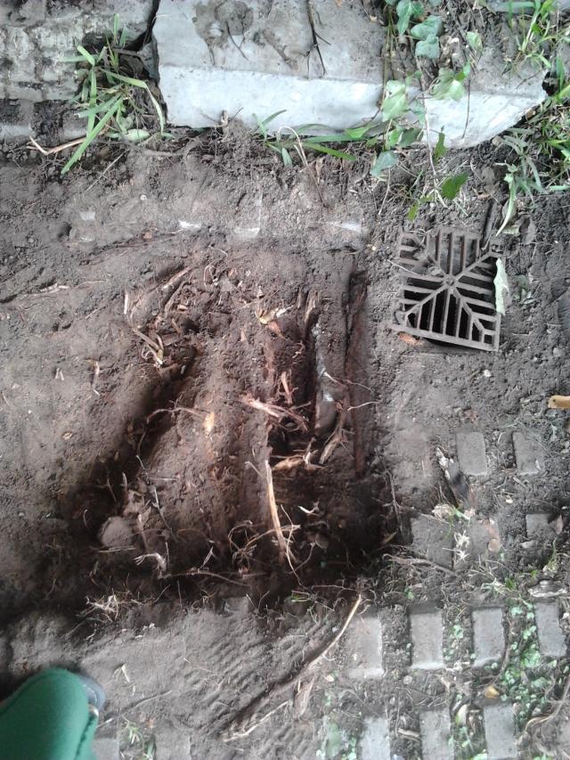30 Raices que entraron en rejilla bajo árbol